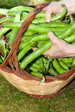 Closeup of broad beans holded in old woman hands.