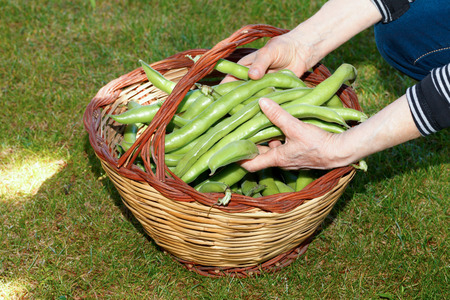Old woman hands holding broad beans above basket.