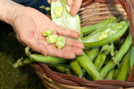 Fresh broad beans in the basket and in woman hand.