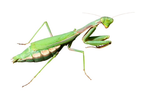 european mantis: Female European Mantis or Praying Mantis (Mantis religiosa) isolated on white background.