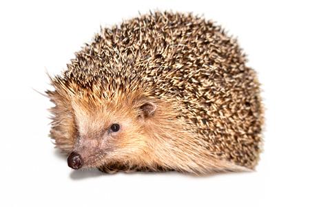 Mature hedgehog isolated on white background. photo