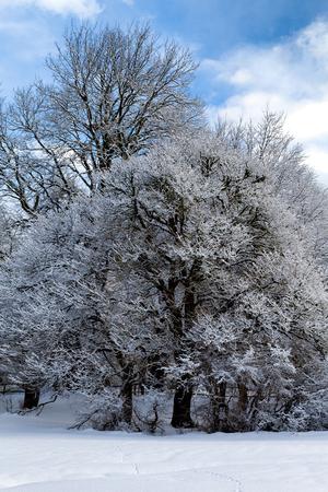 frozen trees: Winter scenery - Frozen trees under the snow.