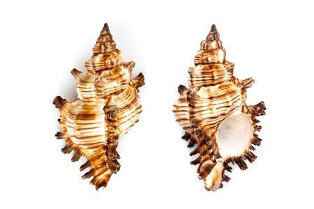 murex shell: Murex shell (Chicoreus Brevifrons) isolated on white background. Stock Photo