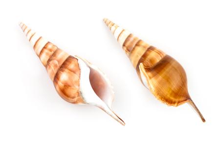 tibia: Tibia shell (Tibia Curta) isolated on white background.