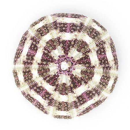 urchin: Sea urchin skeleton isolated on white background. Stock Photo