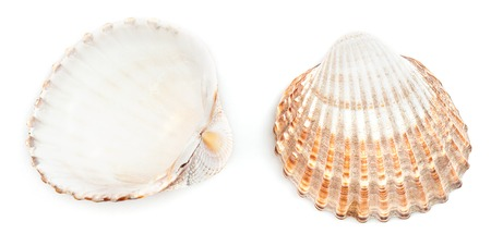 ridged: Rough cockle shell (Acanthocardia Tuberculata) isolated on white background.