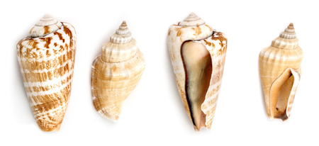 on a white background: Shells of Strawberry conch ( Conomurex Luhuanus) and Samar conch (Canarium Labiatum) isolated on white background.