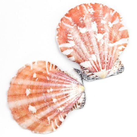 scallop shell: Atlantic calico scallop shell (Argopecten gibbus) isolated on white background.