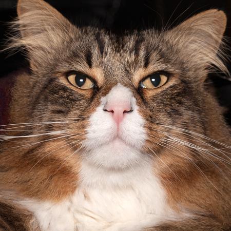 yeux: Closeup portrait of a long hair cat. Banque d'images