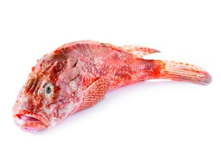 scorpionfish: Fresh red scorpionfish isolated on white background.