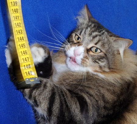 tongue out: Cute cat sticking tongue out while playing with tape measure.