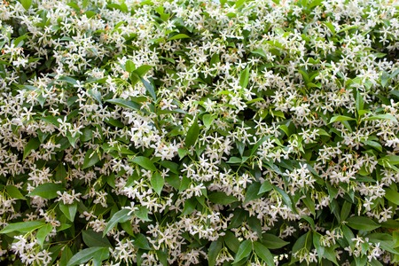 Wall of Chinese star jasmine flowers (Trachelospermum jasminoides) in bloom.