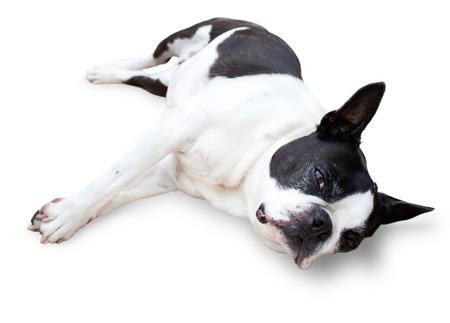 Slaperig Boston Terrier, zijzitting, op witte achtergrond wordt geïsoleerd die.