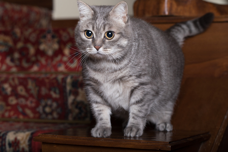 Young grey tabby looking interested in home indoor. Stockfoto