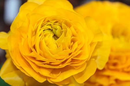 Yellow peony flower closeup view Stok Fotoğraf
