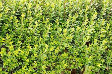 Green hedge texture closeup view