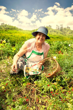 Cheerful senior woman gardening picking cherry tomatoes from the garden