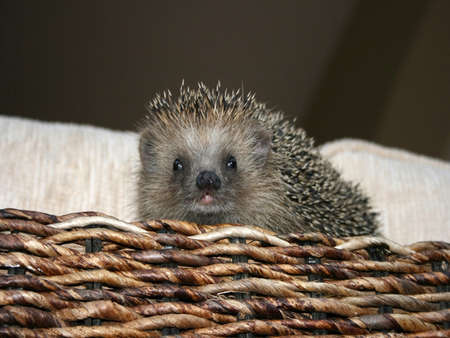 Baby hedgehog animal pet on a sofa.