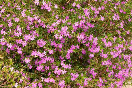 Wild thyme herb in bloom in a garden Stok Fotoğraf