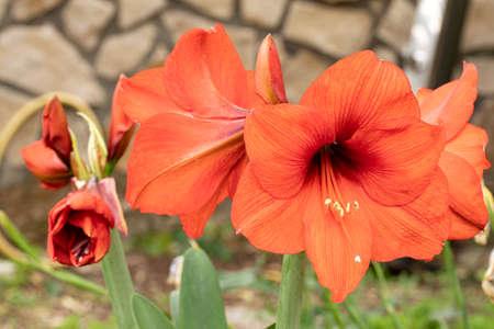 Bloom amaryllis flowers in a garden