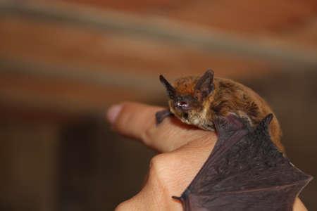 Small European common bat on human hand