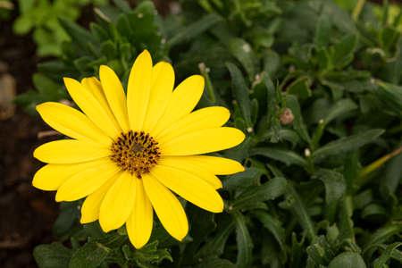 Yellow african daisy in the garden closeup shot Stok Fotoğraf