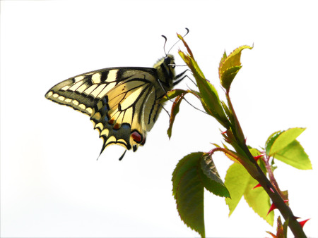 Butterfly Old World Swallowtail photo