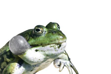 sac: Frog with vocal sac on white
