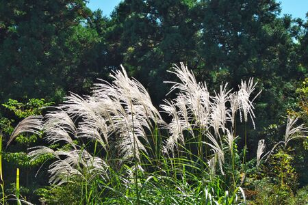 swaying: Silver Grass and Swaying autumn grass