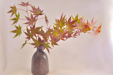 momiji: Japanese Maple and It Momiji is symbol of autumn in Japan