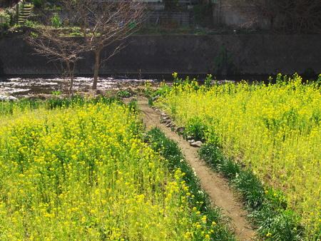 oilseed: Oilseed rape field beside the stream