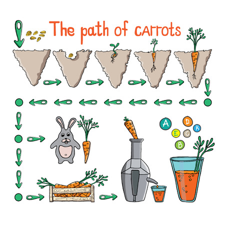 Hand drawn Illustration of the way carrots in different moments of its existence.