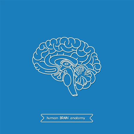 cerebrum: Schematic illustration of human cerebrum.