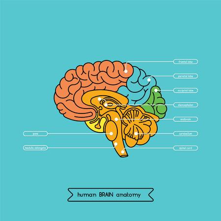 medula espinal: Esquema del cerebro humano. Vectores