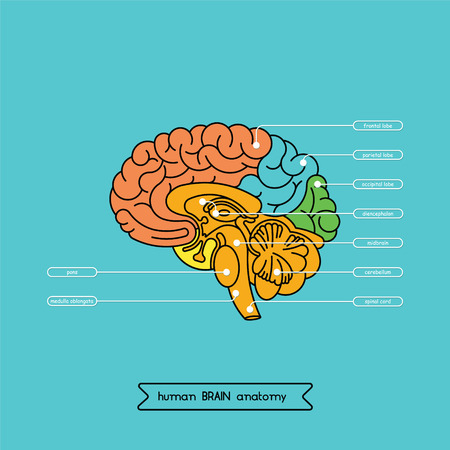 frontal view: Schematic illustration of human cerebrum.