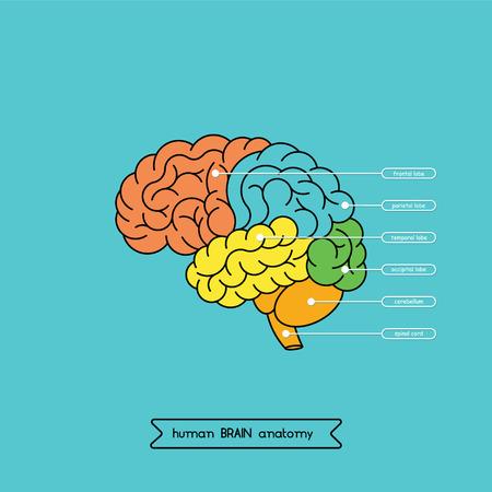 Schematic illustration of human cerebrum.