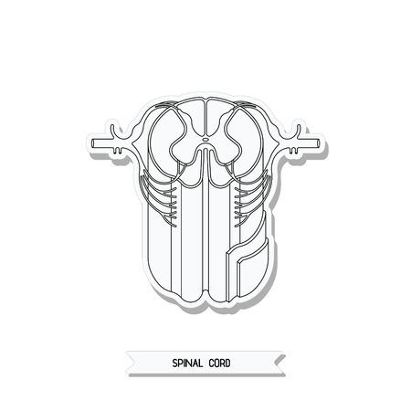 medula espinal: Vector ilustración médica. la médula espinal en gráfico. Corte transversal de la médula espinal. Sistema nervioso central.