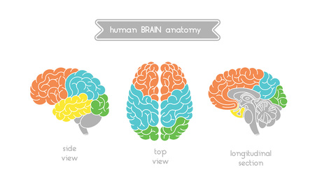 frontal view: Vector human brain views. Brain top view, side view and section. Illustration of human brain for medical design, educatin or logo design. Easy recolor. Vector human brain. Logo brain. Illustration