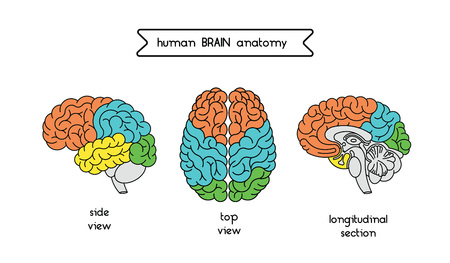cns: Medical illustration of human brain. Human brain illustration made in vector in lineal flat style. Isolated brain top view, side view and section. Vector human cerebrum illustration.