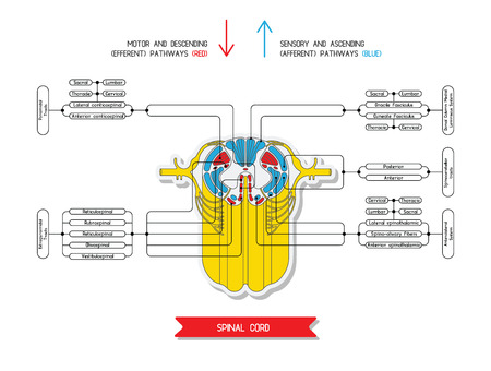 Sezione trasversale del midollo spinale. Sistema nervoso centrale. Vector midollo spinale. Spinale arco riflesso. Vector medico illustrazione. Grandi colonne nervose e tratti di midollo spinale. Vettoriali