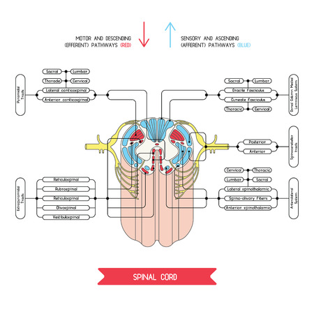 reflex: Cross section of spinal cord. Central nervous system.  Vector spinal cord. Spinal Reflex Arc. Vector medical illustration. Major nerve columns and tracts of spinal cord. Illustration