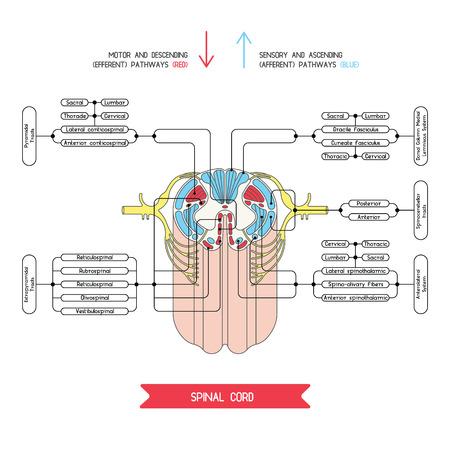 Sezione trasversale del midollo spinale. Sistema nervoso centrale. Vector midollo spinale. Spinale arco riflesso. Vector medico illustrazione. Grandi colonne nervose e tratti di midollo spinale.