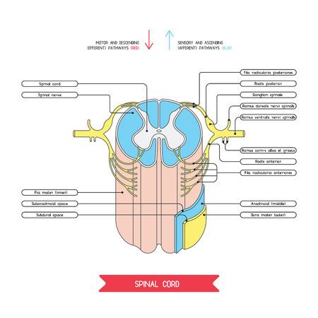 meninges: Cross section of spinal cord. Central nervous system.  Vector spinal cord. Spinal Reflex Arc. Vector medical illustration. Major nerve columns and tracts of spinal cord. Illustration
