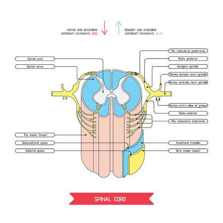 Cross section of spinal cord. Central nervous system.  Vector spinal cord. Spinal Reflex Arc. Vector medical illustration. Major nerve columns and tracts of spinal cord. Illustration