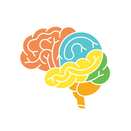 Human brain anatomy structure. Human brain anatomy illustration. Vector human brain anatomy in flat style, easy recolor. Structure of human brain section.