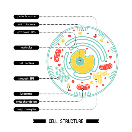 lysosome: Isolated cell biology pictogram. Cell anatomy structure vector illustration. Cell structure detailed colorful anatomy with description.