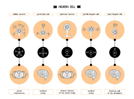 The neurons of the brain and spinal cord. Neuron cell biology. Neuron cell body shape. Vector illustration of axon cell structure. Illustration