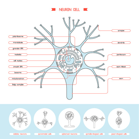 neurone: Isolated neurone cell biology diagram. Neurone cell anatomy structure vector illustration. Axon cell body. Cell structure detailed colorful anatomy with description. Illustration