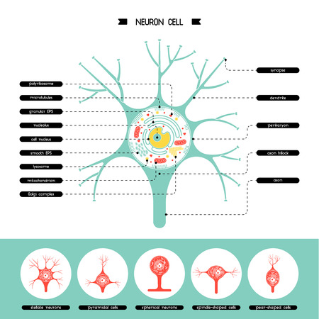 Isolated neurone cell biology diagram. Neurone cell anatomy structure vector illustration. Axon cell body. Cell structure detailed colorful anatomy with description. Stock Illustratie