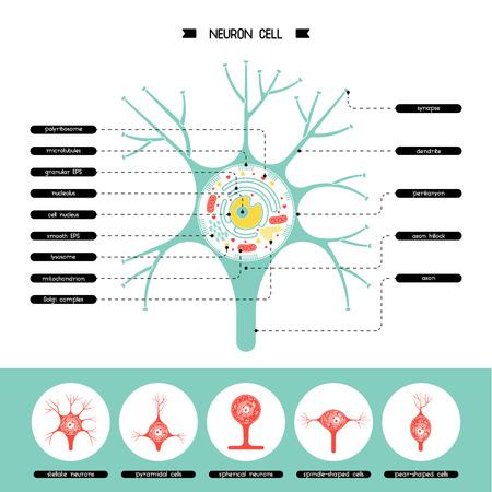neurona aislados diagrama de la biología celular. Ilustración de la estructura del vector anatomía celular de la neurona. cuerpo celular Axon. Estructura de la celda se detalla la anatomía colorido con la descripción.